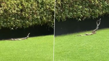 Two Rat Snakes Indulge in Mating Dance at Garden, Watch Video of Serpents Romance Each Other During the Breeding Season