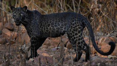 Do Black Panther Have Spots? Viral Photo From Maharashtra's Tadoba National Park Captures The Spots Hidden in the Dark Fur of Melanistic Black Cat