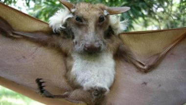 Dog-Faced Bat Goes Viral as Tweeple Cannot Wrap Their Heads Around the 'Bizarre' Creature! Know More About Buettikoferi Epauletted Fruit Bat and How They Balance Our Ecosystem