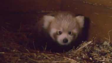 Rare Red Panda Born in Berlin Zoo From Indian Parents As Part of Global Breeding Program, Watch Video
