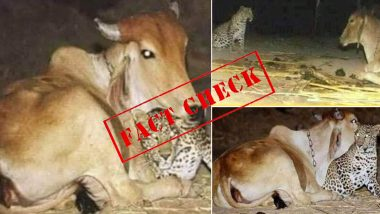 Did Cow in Assam Cuddle a Leopard Cub? Here's a Fact as Old Images Go Viral Amid Lockdown