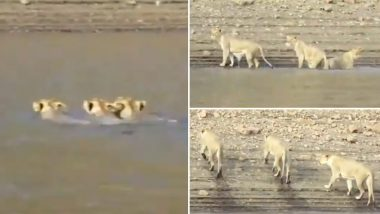 Video of Three Lionesses Swimming Across a Shetrunji River in Gujarat Goes Viral! Can The Mighty Animals Swim? 5 Facts About Lions That Will Shock You!