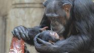 World Chimpanzee Day 2020: Here Are 10 Lesser-Known Facts About the Chimps, Human's Closest Living Relatives From the Animal Kingdom