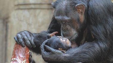 World Chimpanzee Day 2020: Here Are 10 Lesser-Known Facts About the Chimps