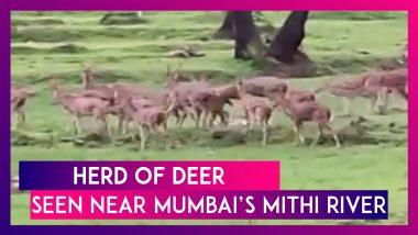 Herd Of Deer Seen Near Mumbai's Mithi River As Nature Heals Amid COVID-19 Lockdown, Twitter Amazed