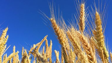 Rye Health Benefits: From Weight Loss to Preventing Gallstones, Here Are Five Reasons to Eat This Grain