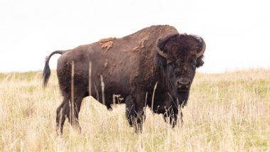 Bison Gores Californian Woman at Yellowstone National Park as She Got Within 100 Feet of Animal to Take Photos