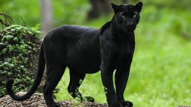 Loved Viral Pics of Rare Black Panther by Shaaz Jung? From Kabini Forest in Karnataka to Tadoba in Maharashtra, 5 Wildlife Sanctuaries in India to Spot the Elusive Black Panthers