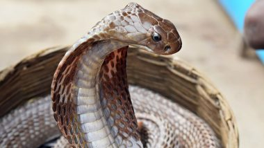 Cobra Remains Wrapped Around Girl's Neck for Nearly 2 Hours Before Biting Her in Maharashtra Village
