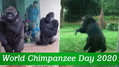 World Chimpanzee Day 2020: Cute Videos of Chimps Showing Their Funny And Playful Nature, So Human-Like!