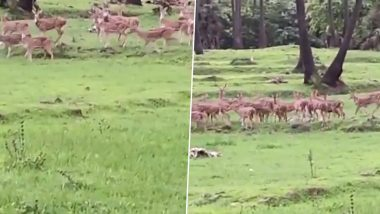 Herd of Deer Spotted Playing Near Mumbai's Mithi River is Another Beautiful Example of Animals Reclaiming The World During Lockdown (Watch Viral Video)