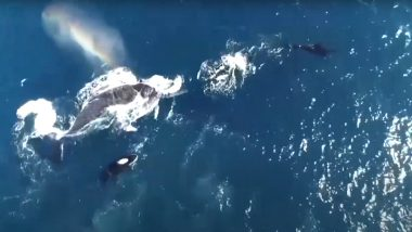 Humpback Whale Mother Protects Calf From Pod of Killer Whales Off Coast of Western Australia, Rare Occurrence Captured on Drone (Watch Video)