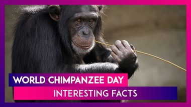 World Chimpanzee Day 2020: Interesting Facts About The Chimps To Celebrate The Magnificent Species