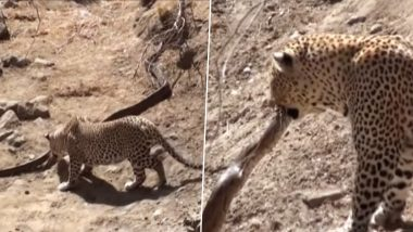 After Tiger vs Python, Video of Leopard Attacking The Dangerous Snake in Kruger National Park Shared Online; Can Pythons Kill Wild Cats?
