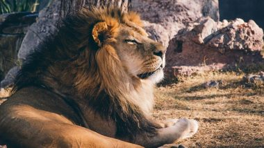 Sri Lanka's Zoo Seeks India's Help After Lion Tests Positive for COVID-19