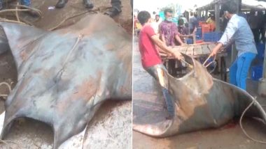 Rare 800 Kg Fish 'Chilshankar' Caught in West Bengal's Digha Coast is Manta Ray, an Endangered Species, Claim Netizens! (View Pics)