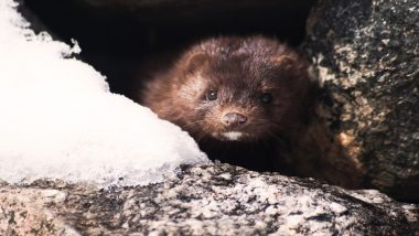 Spain to Kill Over 90,000 Mink After 6 Farm Employees Test Positive For Coronavirus