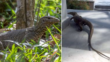 Pic of Huge Monitor Lizard in Delhi Home Causes Panic, Are They Dangerous? Know Facts About This Reptile