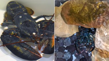 Rare Blue Lobster 'Clawde' Fished For Cooking Rescued And Sent to Akron Zoo by Restaurant Employees Due to its Uniqueness! (See Pictures)