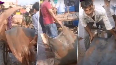 800 Kg Fish Found in India? Rare Fish Chilshankar Weighing Almost A Ton Caught in West Bengal's Digha Auctioned for Rs 20 Lakh (Watch Video)