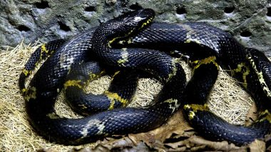 Massive Seven-Foot-Long Rat Snake Rescued From Garage in Agra Air Force Station
