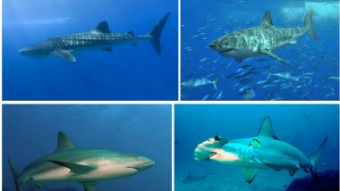 Shark Awareness Day 2020: Interesting Facts About Sharks From Being World's Biggest Fish to Growing 50,000 Teeth!