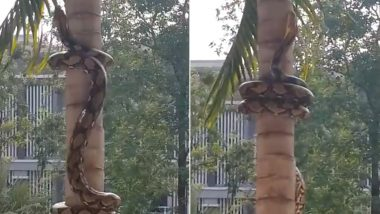 Old Video of Reticulated Python Climbing Tree Resurfaces Online, Snake's Method of Scaling a Bark is Scaring Netizens!