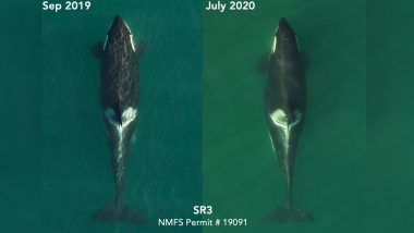 Do You Remember Tahlequah the Killer Whale That Carried Dead Calf for 17 Days? She Is Pregnant Again! (See Pictures)