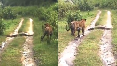Tiger vs Python: Old Video of Unlikely Encounter Between Wild Cat and Giant Snake From Nagarhole Sanctuary in Karnataka is Going Viral