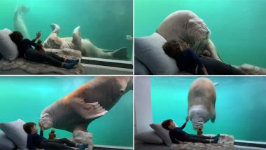 Walrus in Your Room! Zoo Pairi Daiza Resort in Belgium Has an Underwater Suite Where Marine Mammals Swims Right by Your Side (Pictures and Videos)