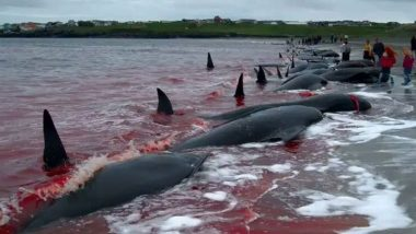 Whaling Begins in Faroe Islands, 300 Pilot Whales And Atlantic White-Sided Dolphins Slaughtered Despite Coronavirus Restrictions (Horrifying Pictures And Videos)