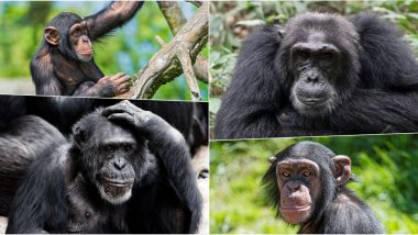 World Chimpanzee Day 2020: Date, Significance, Importance and History of the Key Observance on July 14
