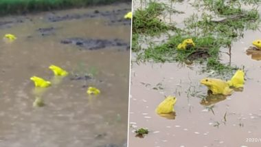 Raining Frogs! Rare Yellow Frogs Spotted Mating in Vasai and Buldhana Farms Following Heavy Rains (View Pics and Videos)