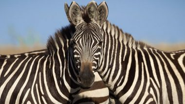 Optical Illusion Photo of Two Zebras Blending Into One Head Will Make You Scratch Your Heads to Figure Which Animal Stands In The Front (View Viral Pic)