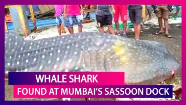 25-Foot-Long Whale Shark Found Washed Ashore At Mumbai's Sassoon Dock, Probe Ordered
