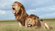 World Lion Day 2020: Asiatic Lions Are the Pride of Gujarat, Watch Grandeur Celebration by Gujarat Forest Department