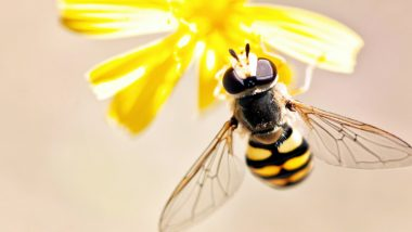 World Bee Day 2021 Date and Theme: Know History and Significance of The Day Acknowledging Role of Bees and Other Pollinators in Our Food System
