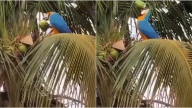 Thirsty Macaw Parrot Drinking Coconut Water by Piercing Through it With Claws Goes Viral, Video Amuses Netizens