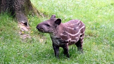 First Male Baby Tapir Born at Singaporean Night Safari Almost After a Decade, See Pictures & Videos of the Adorable Calf