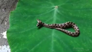 Mumbai Snake Rescue: Rare Two-Headed Russell Viper Rescued From Kalyan Area, Watch Video