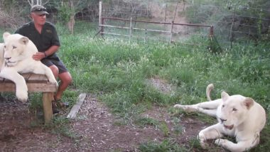 South African Conservationist West Mathewson Mauled to Death by The White Lions He Raised, Watch His Old Video Describing Them as 'Fantastic Company'