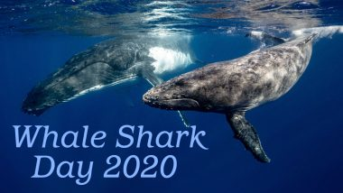 International Whale Shark Day 2020: Despite Having 4-Ft Wide Mouth, These 'Gentle Giants' Can Only Eat Shrimps, Know More Such Mind-Blowing Facts