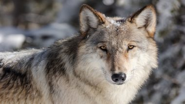 International Wolf Day 2020 Special: Interesting Facts and Photos of This Wild Animal Will Leave You Surprised!