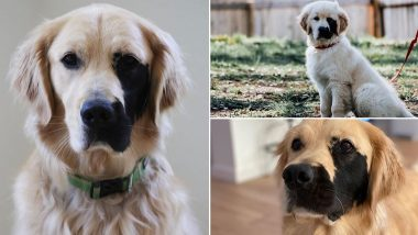 Enzo Viola, Dog Born With Rare Genetic Mutation Has the Cutest Black Patch on His Face and He Is Instagram's Favourite! See Adorable Pics and Videos of the Golden Retriever