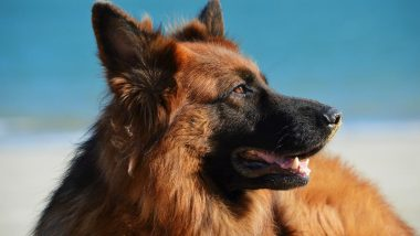 Dogs Can Sniff Out COVID-19 With 96% Accuracy: Researchers