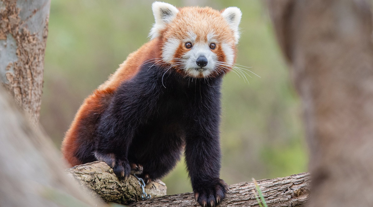 International Red Panda Day 2020 Date, History and Significance: Here's Why  It Is Important to Raise Awareness About the Red Pandas and Protect the  Mammals | 🙏🏻 LatestLY