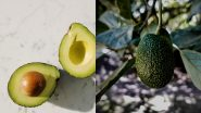 Avocados May Soon Be Sent to Mars! Nutritious Fruit Can Be Cryogenically Frozen, Shipped and Regrown on the Red Planet