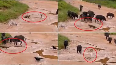 Cobra Saved From Killer Mongoose by 'Friends' Pigs and Crows in This Video Will Surely Have Gone Home Singing 'Mera Yaar Hai Tu'