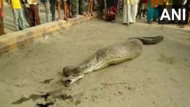 Python, Unable to Move After Consuming a Goat, Rescued From Village in UP's Rampur