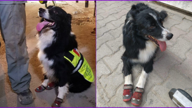 Flash, Chilean Dog Hailed as Hero For Detecting Possible Signs of Life Under Rubble A Month After Beirut Explosion When No Authorities Could!